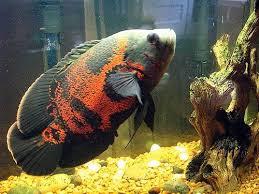12 Jenis Ikan Hias Air Tawar Tercantik yang Mudah Dipelihara