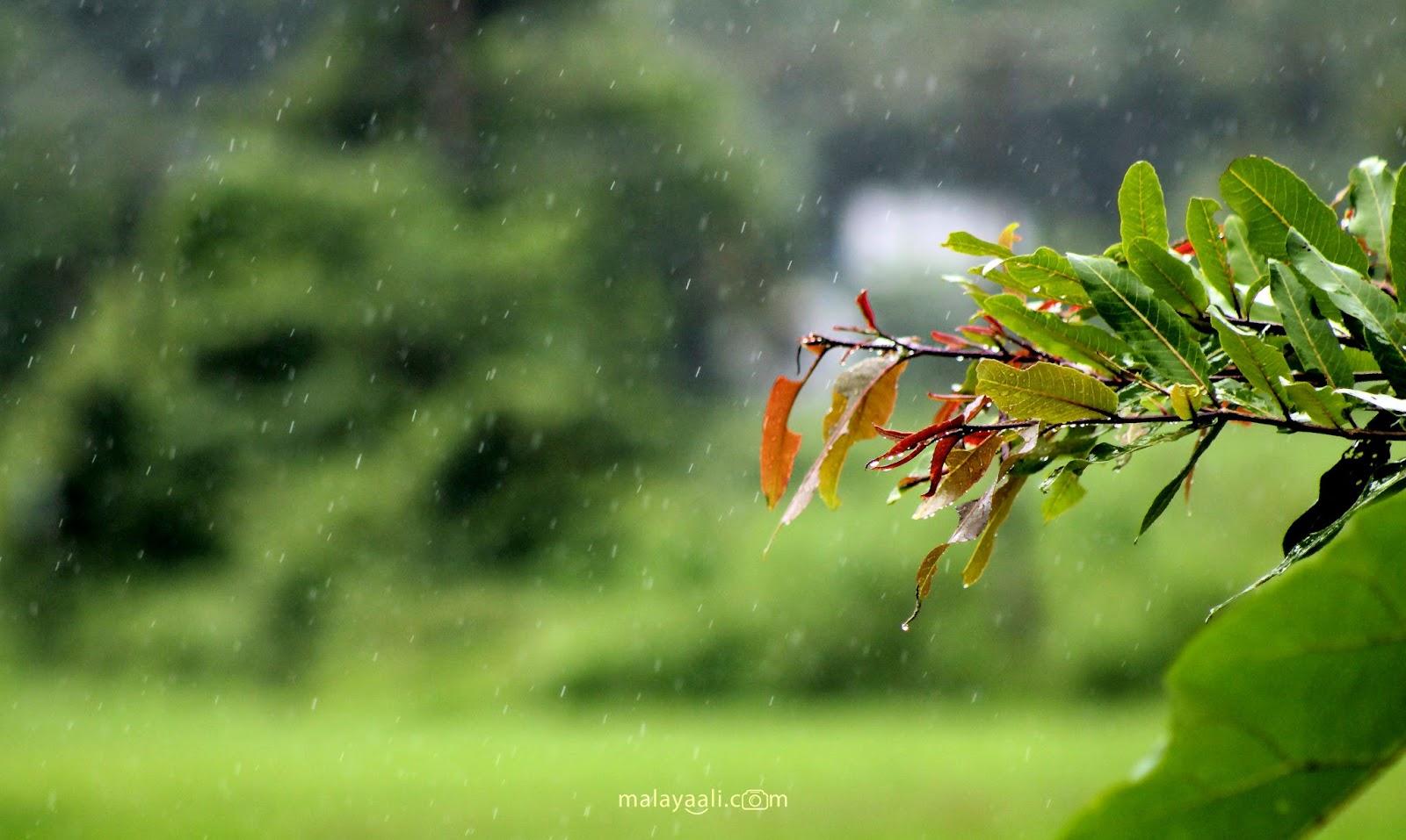 Rain, Mazha, Kerala, Sukrutham, Malayali, Peringode, Malayali Peringode, മലയാളി, പെരിങ്ങോട്, മഴ, മൺസൂൺ, കേരളം, പച്ച, Green