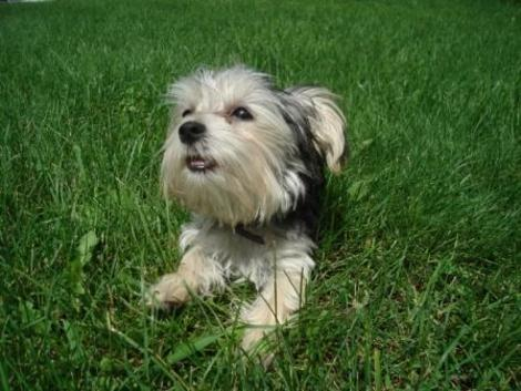 Morkie Madness: Morkie Care Tips: What You Need to Know