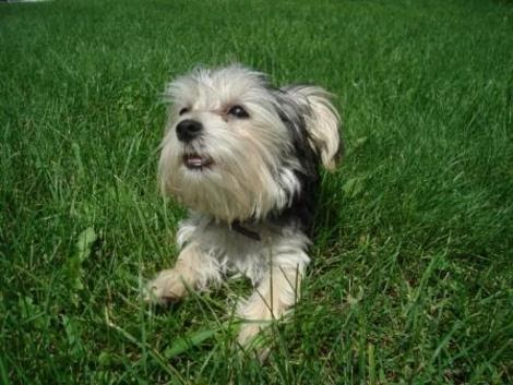 Morkie Madness Teeth Cleaning Tips For Your Morkie
