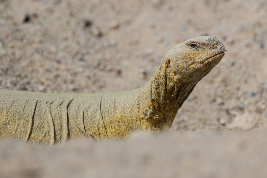 Arabian Spiny-tailed Lizard