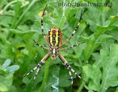 Insectos ben ficos del jardin informaciones agronomicas for Insectos del jardin