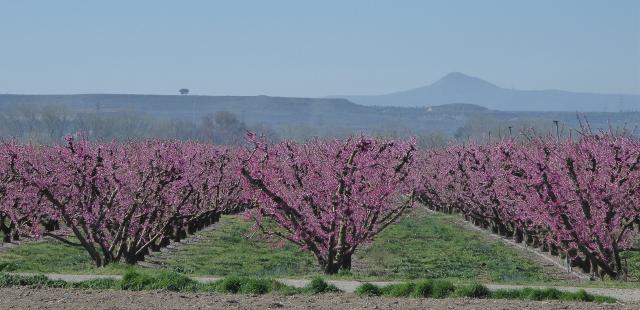 Fruiters en flor d'Aitona