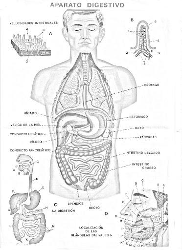 Lamina Del Aparato Digestivo Para Colorear Dibujo Views