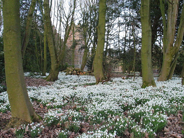 WHEN SHOULD I PLANT SNOWDROPS - Galanthus species and cultivars