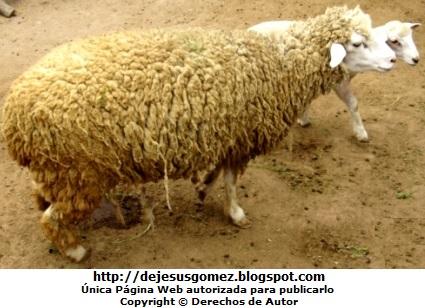 Foto de oveja con su cría por Jesus Gómez