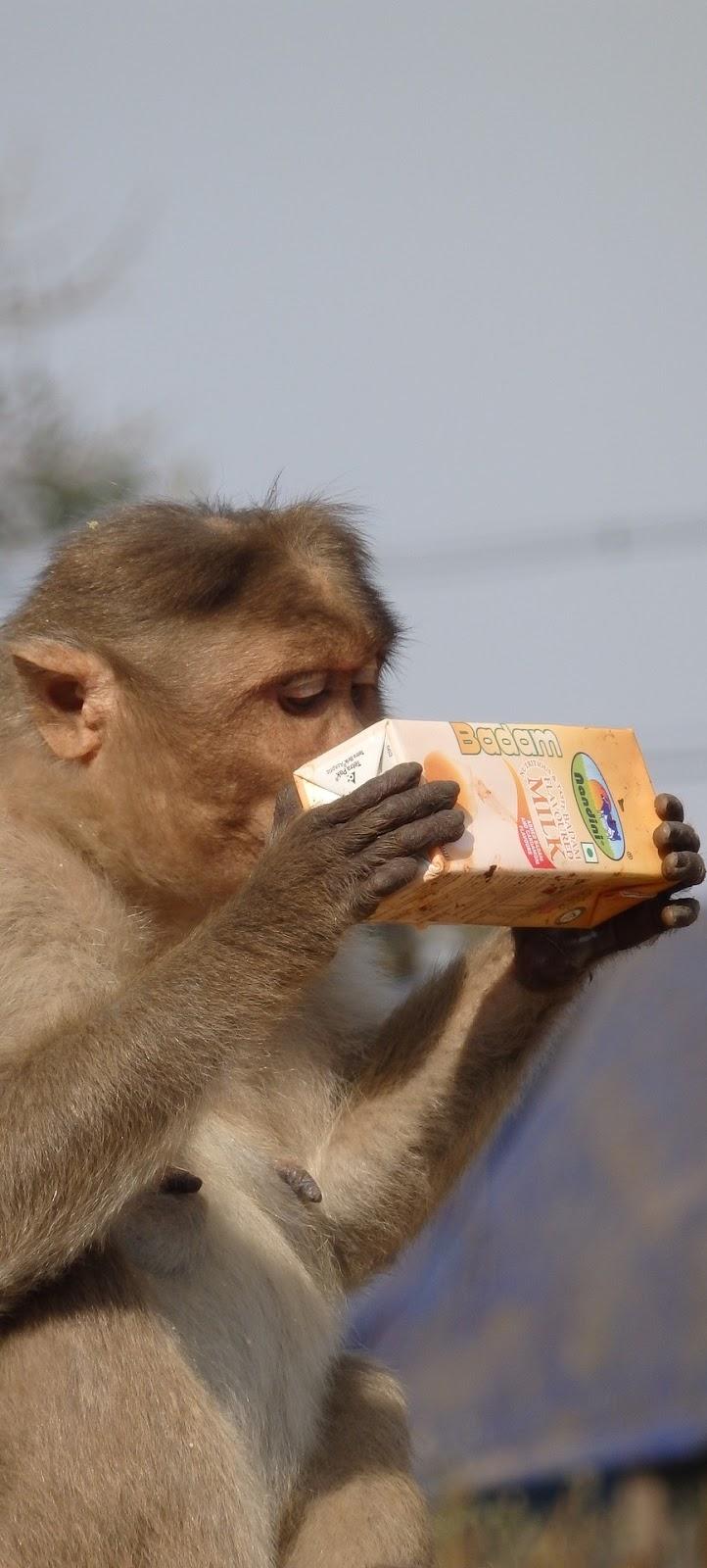 A monkey's taste of modernity.