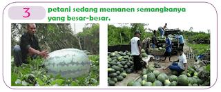 petani sedang memanen semangkanya yang besar-besar. www.simplenews.me