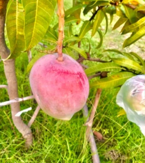 Granjero planta el mango más caro del mundo por accidente