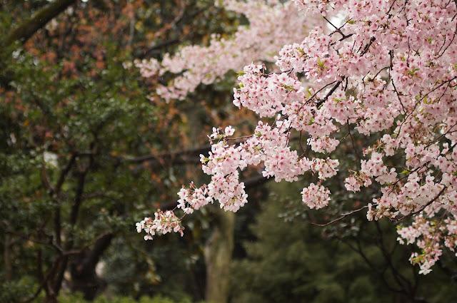 Wallpaper bunga sakura terindah