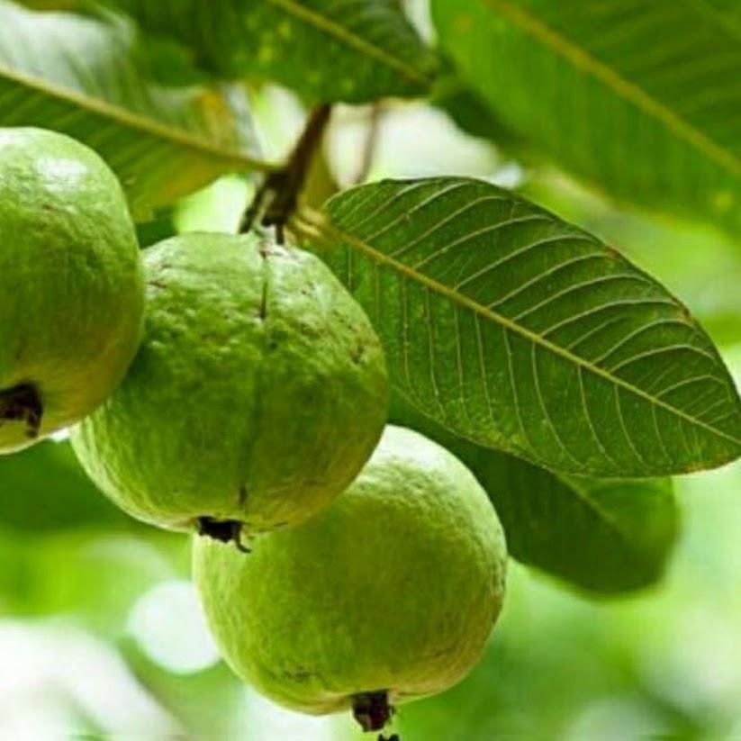 Bibit tanaman buah jambu biji merah Sumatra Utara