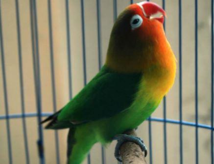 Masteran Lovebird Yang Bagus MP3
