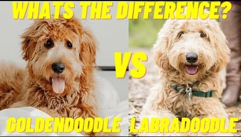 Labradoodle VS Goldendoodle : What's the Difference?