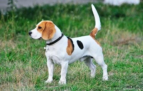 كل المعلومات عن الكلب الانجليزي بيجل