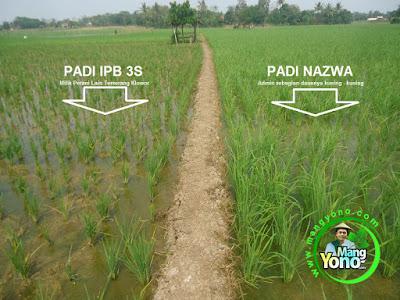 FOTO : Tanaman padi di Sawah Cibandung.