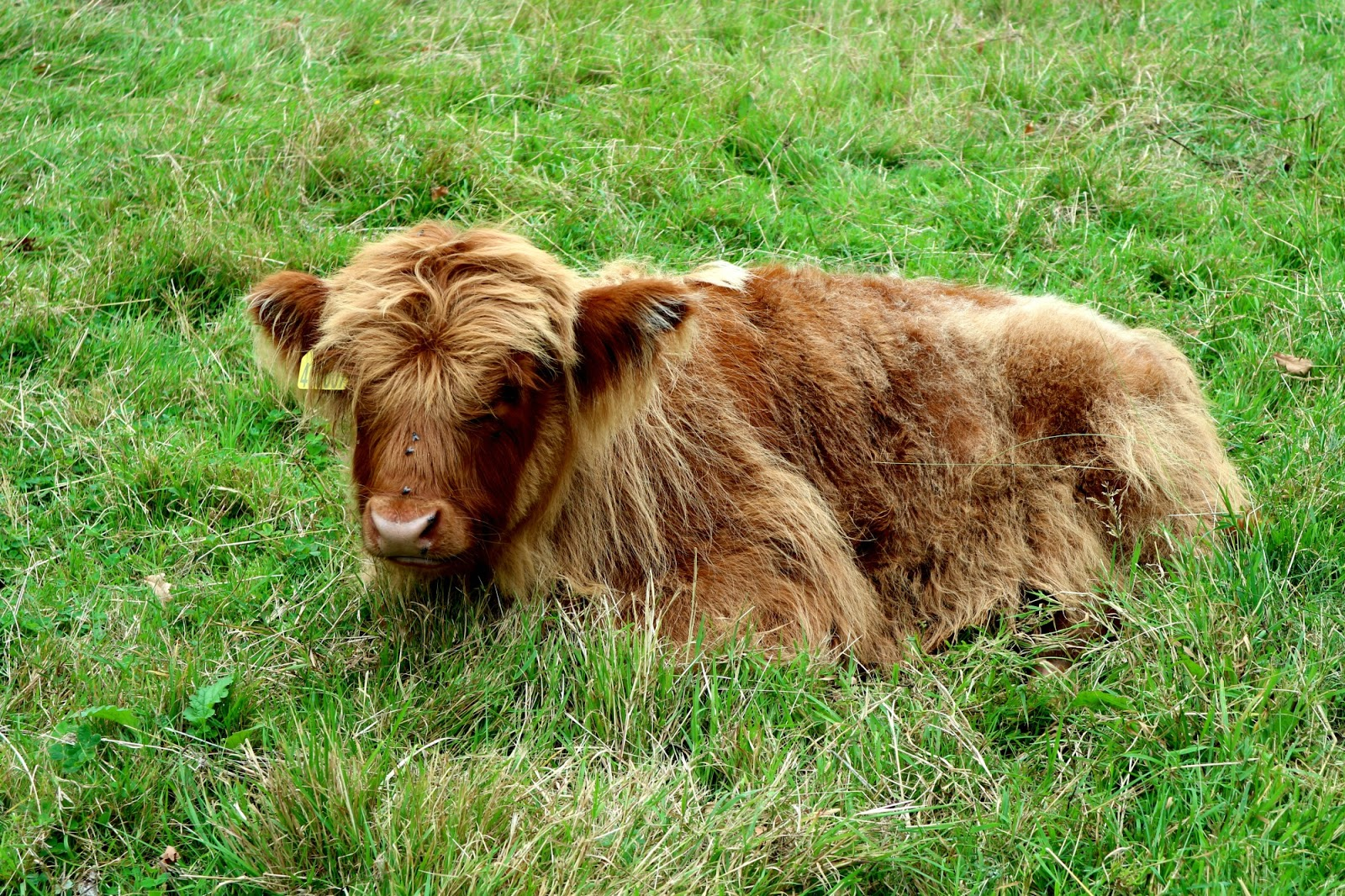 Where to see Highland Cows Glasgow