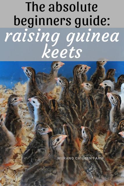 Beginners guide to raising guinea keets