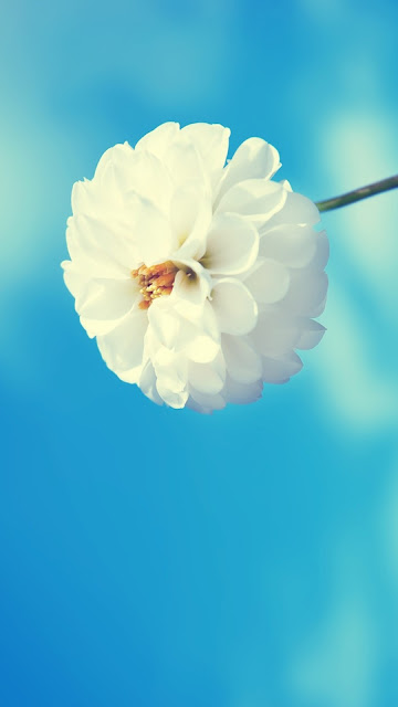 White Flower iPhone 6 Plus Wallpapers Free Download