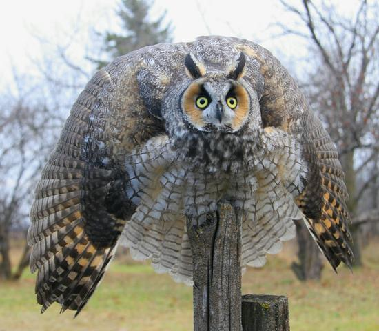 what is the biggest owl