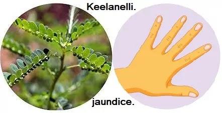 கீழாநெல்லியும் வைரஸ் அழற்சி காமாலையும் - Keelanelli - Viral inflammatory jaundice.