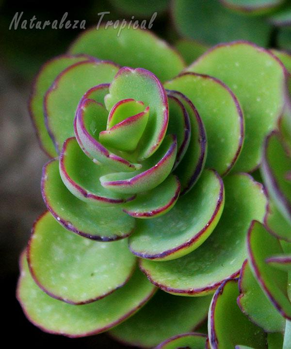 Vista de la planta suculenta Kalanchoe laxiflora