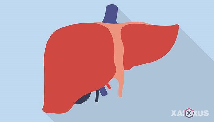 Fakta 3 - Organ hati pada janin 7 minggu mulai berfungsi