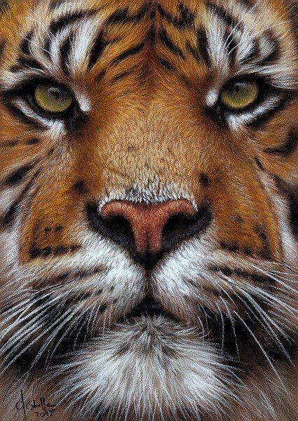tiger hd wallpaper picture