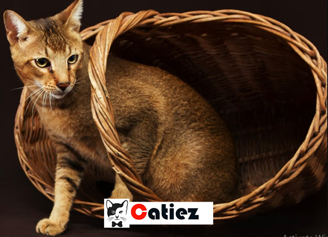 Chausie cat - all you want to know about Chausie cats