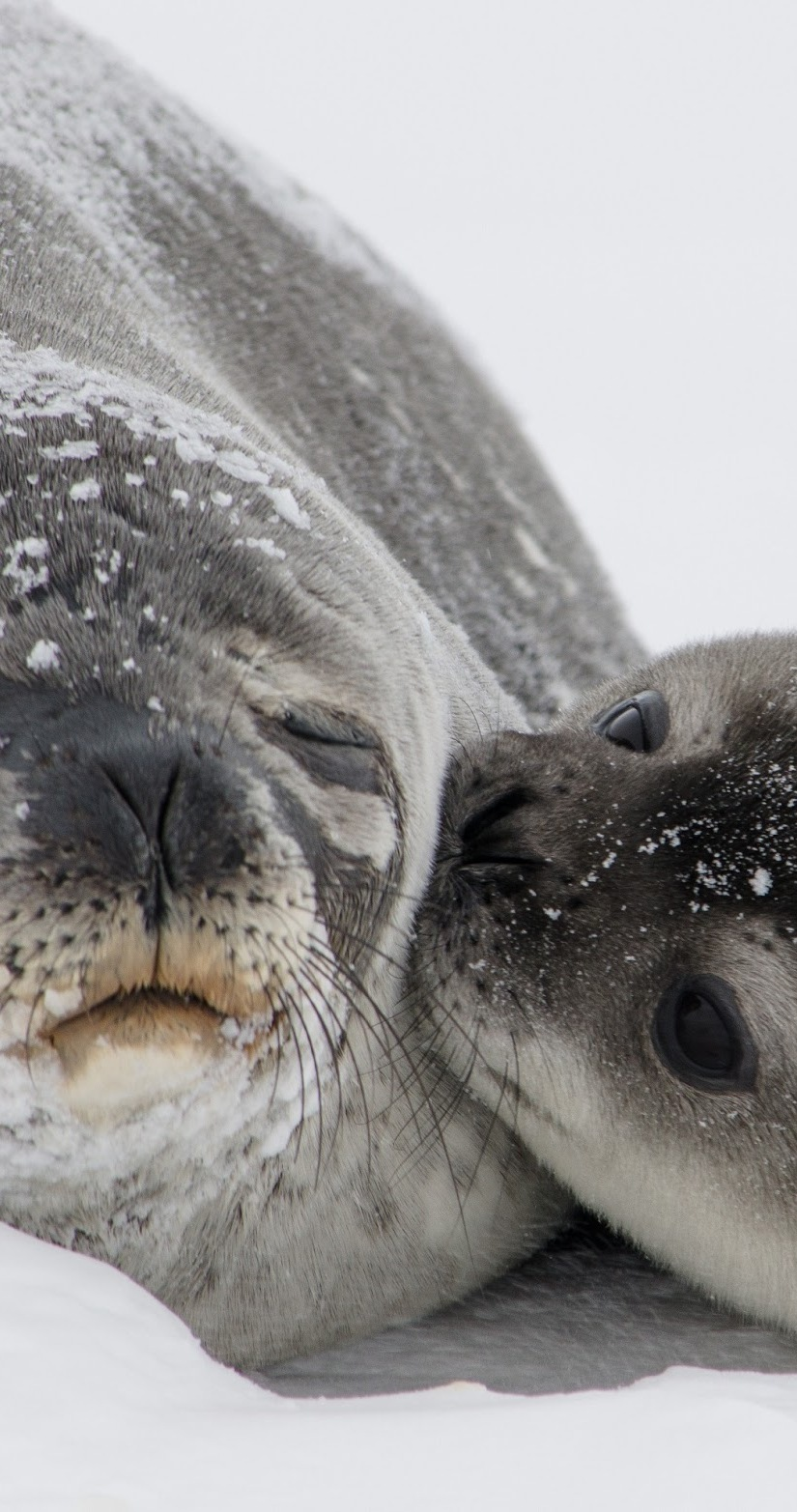 Picture of a mother and baby antarctic fur seal.