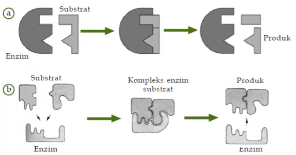 H A M S A: Sifat, Struktur dan Cara Kerja Enzim