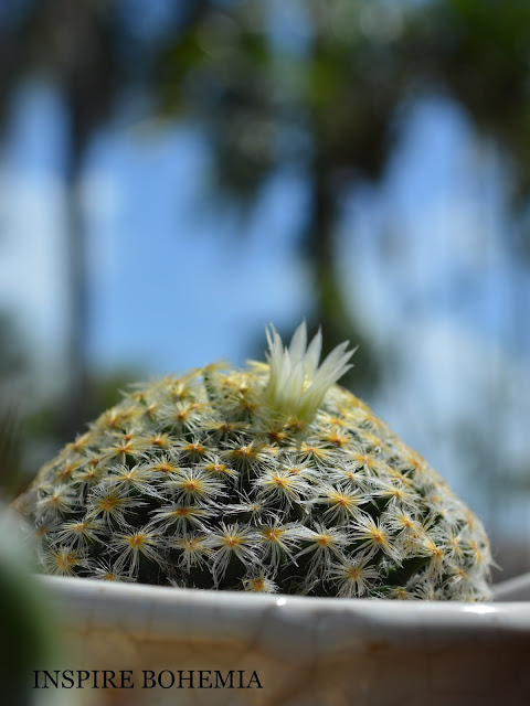 Mammillaria schiedeana Cactus Flower Gardening Plants Succulents