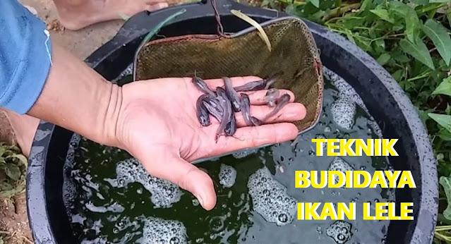 Teknik Budidaya Ikan Lele Hingga Panen Sukses Tukang Kuli