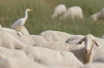 Garcilla bueyera sobre una oveja