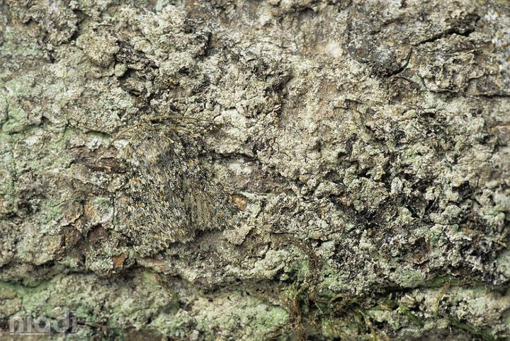 Peppered Moth si hewan yang bisa menyamar