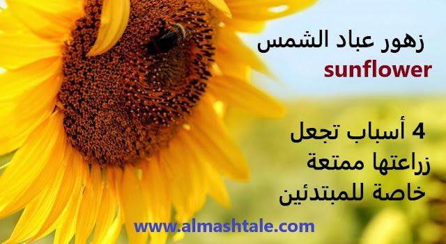 زهور عباد الشمس sunflower