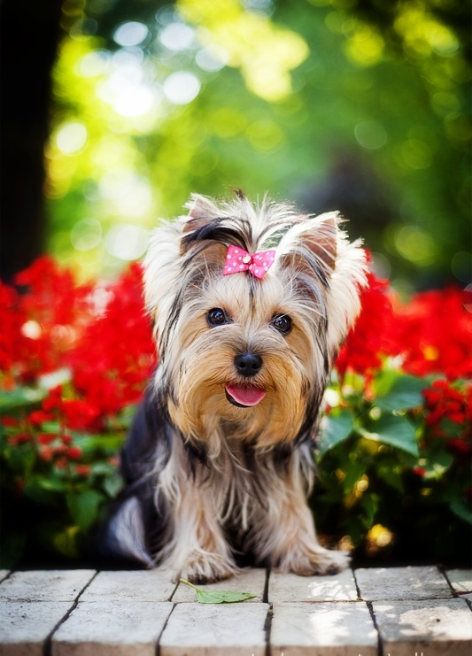 Health Problems In Yorkshire Terrier Annie Many