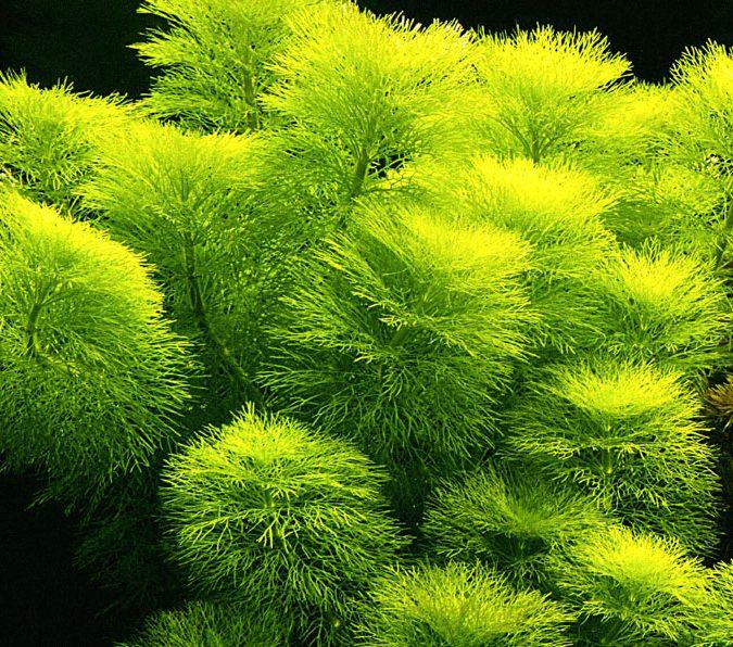 Cây thủy sinh Đại Bảo Tháp sẽ đẹp hơn nếu bạn trồng thành cụm