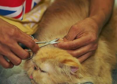 Memotong Rambut Kucing
