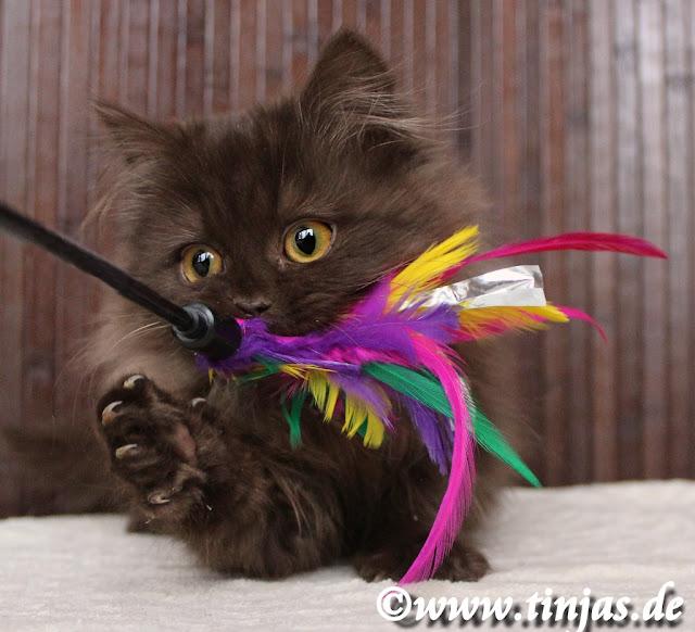 Sehr selten : Britisch Langhaar Mädchen  Katzenbaby in chocolate