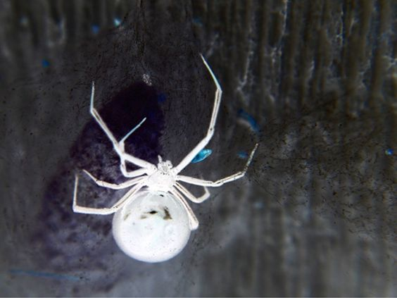 Widow Spider | A-Z List of 125 Rare Albino Animals [Pics]