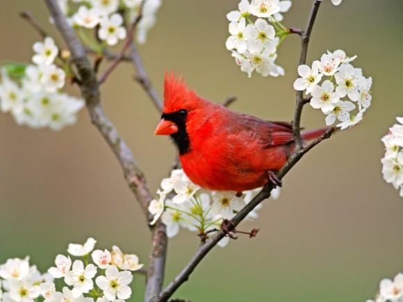 طيور نــادرة رائــــــعة cardinal-birds-2-580