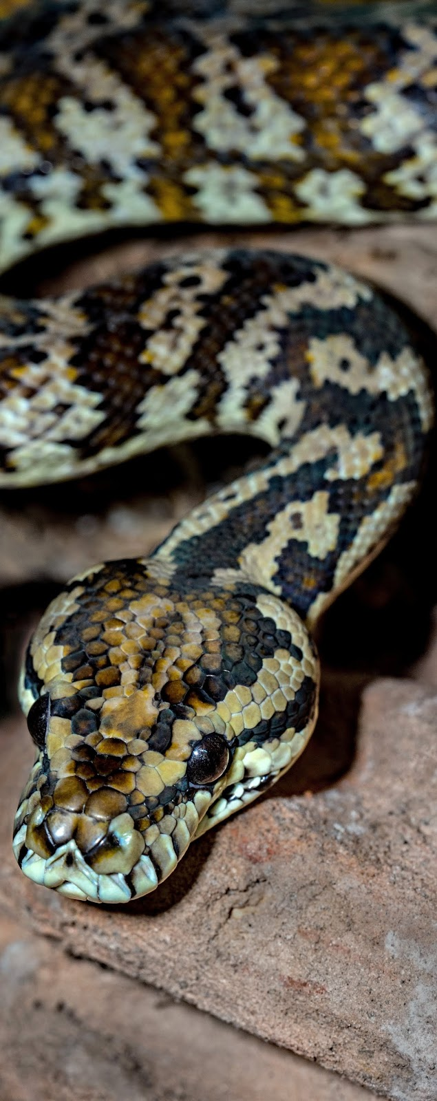 Picture of a carpet python.