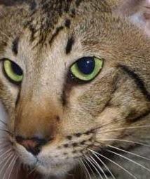 Oriental Shorthair Bengal Mix Personality, Size, Lifespan, Price
