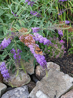 Butterfly on a purple flower