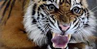 Harimau Sumatera panthera tigris sumatrae