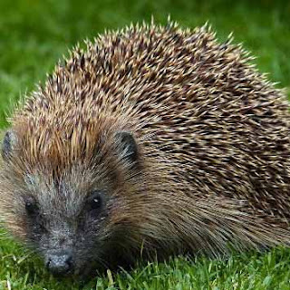 Mighty Little Hedgehog Short African Folklore Story