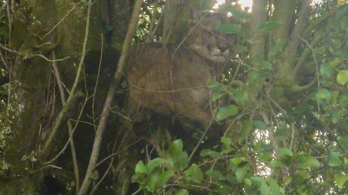 Fauna de Río Negro pide tranquilidad ante el avistaje de un puma en el centro de Bariloche