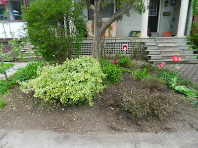 Wychwood Front Yard Spring Cleanup Toronto After by Paul Jung--a Toronto Organic Gardener