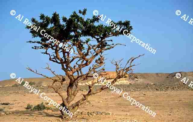Frankincense   AlRoyal Corporation - Oman