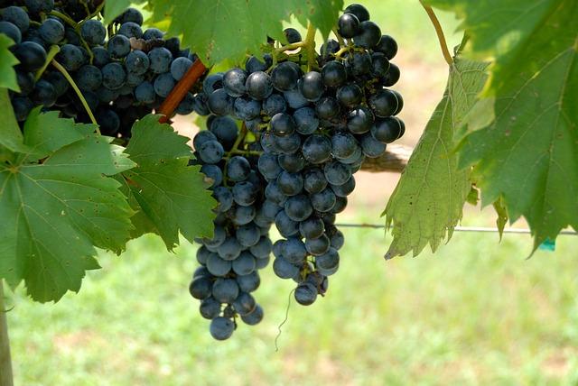 Teknis Budidaya Anggur Organik Nasa